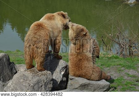 Grizzly Bears In Nature, Bears, Nature, Grizzly Bears In Nature
