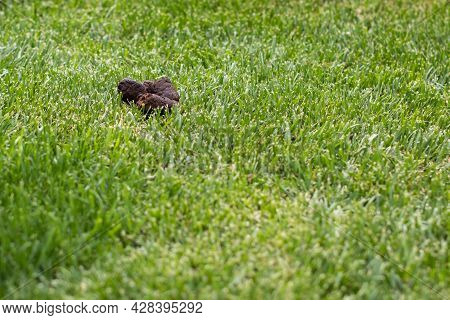 Dog Shit Poop On Green Grass In Nature