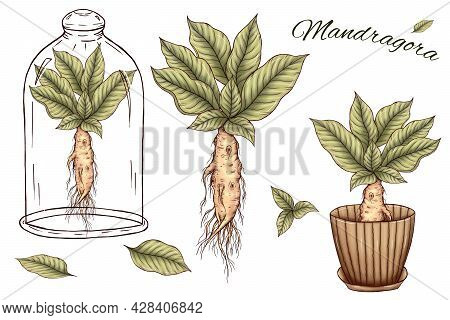 Cute Mandragora Art, Green Leaves, Root, Mandrake In Glass, Mandrake In Pot, Magical Design Element,
