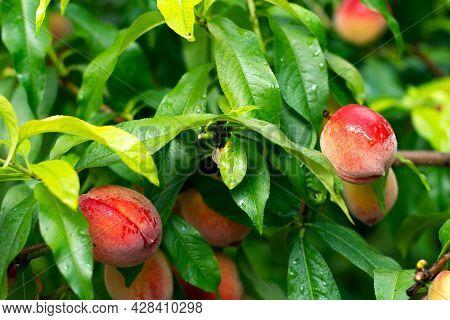 Ripe Tasty Peach On Tree In Sunny Summer Orchard. Fruit Farm With Tree Ripen Freestone Peaches. Beau