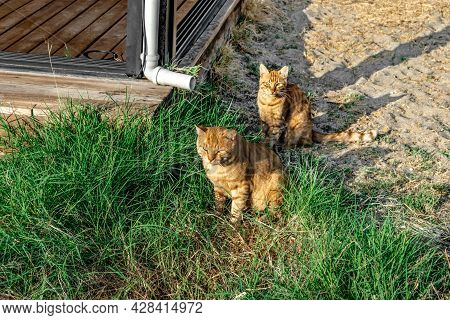 Two Ginger Tabby Cats Sit On The Beach In Alanya (turkey). Couple Of Wild Yellow Animals Among Sand