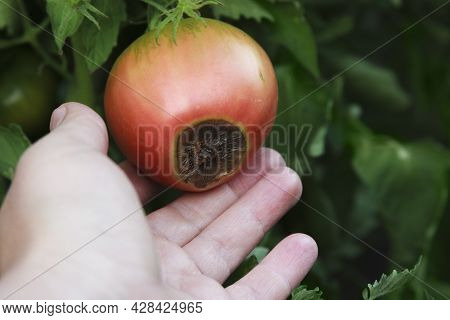 Blossom End Rot On The Red Tomato. Damaged Fruit In The Farmer Hand. Close-up. Disease Of Tomatoes.