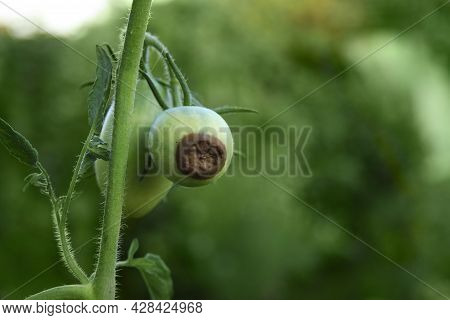 Tomatoes Disease. Blossom End Rot. Two Green Tomatoes Are Rotten On The Branch. Close-up. Crop Probl