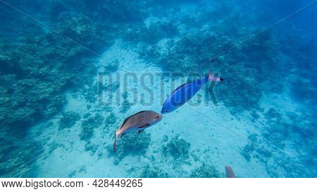 Gray And Blue Tropical Fish Met Each Other At The Bottom Of The Blue Sea.