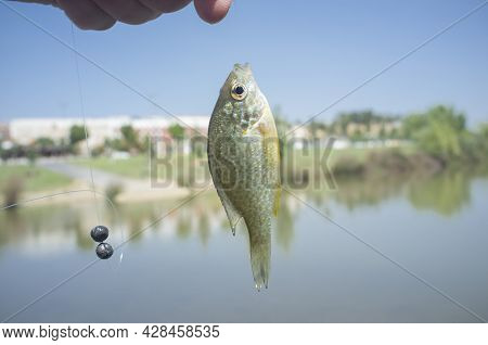Pumpkinseed Sunfish Captured At Urban Course Of Guadiana River. Urban Background