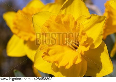 Close Up Image Of Daffodil (narcissus Pseudonarcissus), Flowers Of Springtime