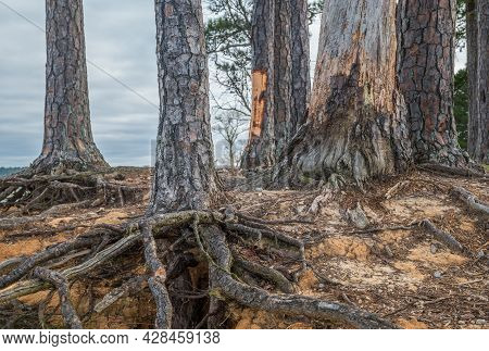 Decaying Trees With Exposed Roots From Erosion Hanging On The Edge Of The Shoreline At The Lake In E