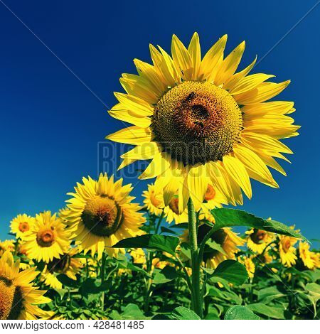 Sunflower - Beautiful Yellow Flowers With Blue Sky. Nature Colorful Background And Concept For Summe