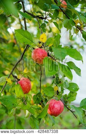 Red Apples On A Branch With Raindrops, Ready To Be Harvested. Selective Focus.fresh And Juicy Organi