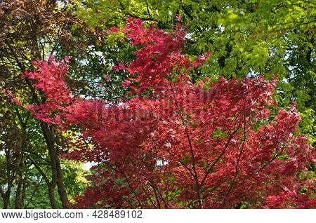 Japanese Maple (acer Palmatum) With Thin Branches, With Red-maroon Carved Openwork Leaves Shivering