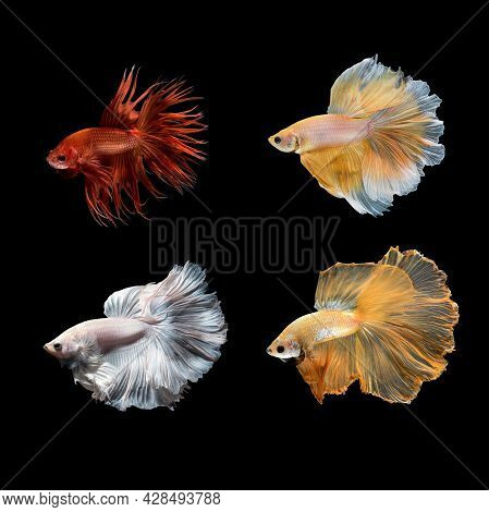 Close Up Art Movement Of Betta Fish Or Siamese Fighting Fish On Black Background