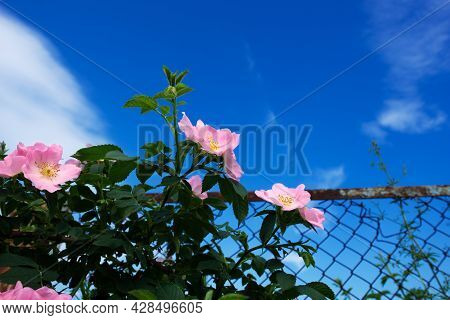 Rosehip Rosa Canina Light Pink Flowers Bloom On The Branches, Beautiful Wild-growing Shrub With Gree