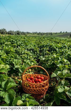 Picking Fruits On Strawberry Field, Harvesting On Strawberry Farm. Straw Basket Full Of Fresh Strawb