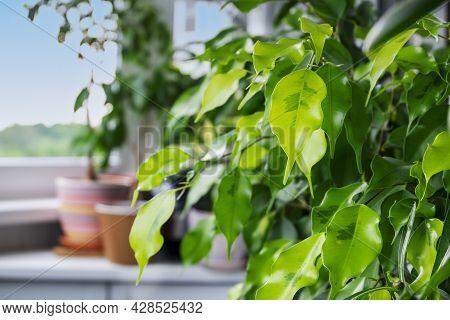 Close-up Of Home Ornamental Plant Ficus Benjamin Golden Monique Cultivar In The Interior Of Balcony
