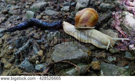 Macro Photo Of Nature Mollusk Snail Helix Pomatia. A Snail In A Spiral Shell On Which A Second Snail