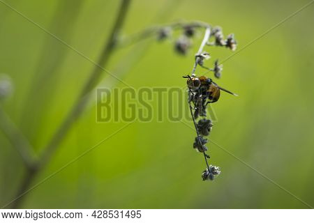 Close-up Of A Fly Sitting On A Dry Twig. Fly Sits On A Dry Plant, Colorful Insect, Macro Photography