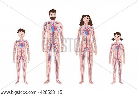 Arterial And Venous Vessels, Circulatory System In Human Body. Blood And Heart In Adult And Child Si