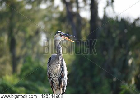 Great Blue Heron With Tongue Out