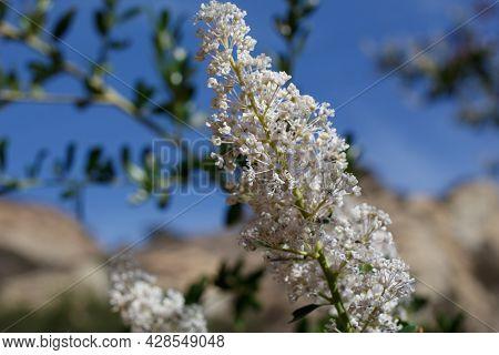 White Axillary Indeterminate Panicle Inflorescences Of Greenbark Buckbrush, Ceanothus Spinosus, Rham