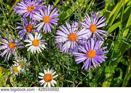 A Species Of Perennial Herbaceous Plants Of The Genus Aster Of The Aster Family, Or Compound Flowers