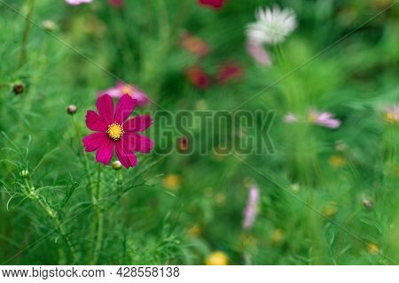 Beautiful Green Floral Background With Cosmos Bipinnatus Flowers. Maxican Astra Flower, Flower Of Co