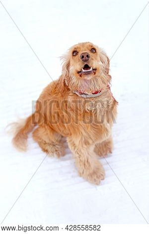 Beautiful English Cocker Spaniel Sitting And Looking Up, White Snow Background
