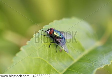 The Common Green Bottle Fly (lucilia Sericata) Is A Blowfly Found In Most Areas Of The World And Is