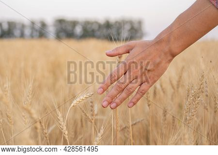 Close-up Farmer Touching His Crop With Hand In A Golden Wheat Field.