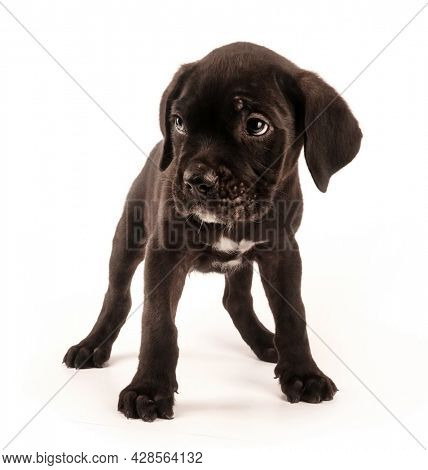 Cane Corso purebred dog cute puppy isolated on white background. Baby animals concept