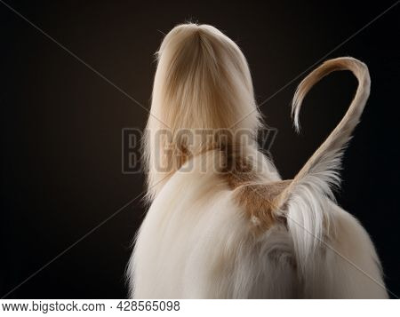 Elegant Dog With Long Hair Is Standing. Excellent Grooming. Fawn Afghan Hound In Studio
