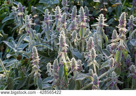 Bush Of The Flowering Stachys Byzantina, Also Known As Lamb's-ears With Leaves Covered With Silver-w