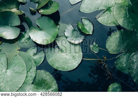 Water Lily Leaves In The Lake Close Up. Top View
