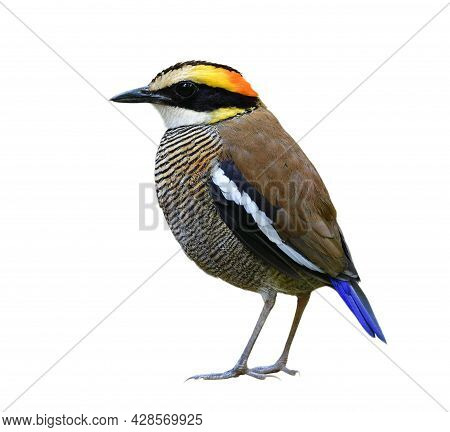 Endemic Species To Thailand With Most Wanted Bird On The Wish List Of Wildlife Photographer, Female