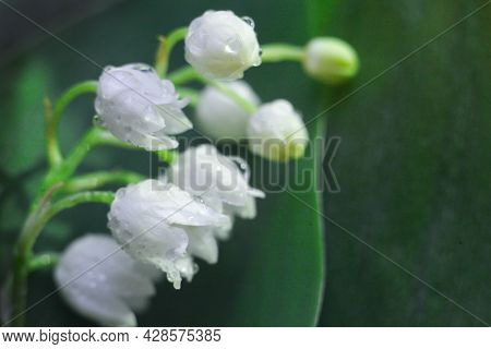 White Flowers With Waterdrop. Lily Of The Valley Flower Close Up In Spring Gardenat Green Background