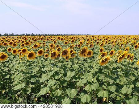 Summer Ripe Sunflowers On Farmland, Bright Yellow Sunflower Inflorescences Under Blue Clear Sky, Sun