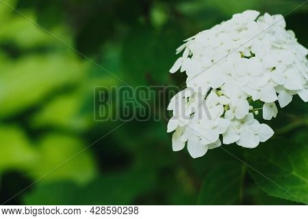 Blooming White Hydrangea Plants In Full Bloom.