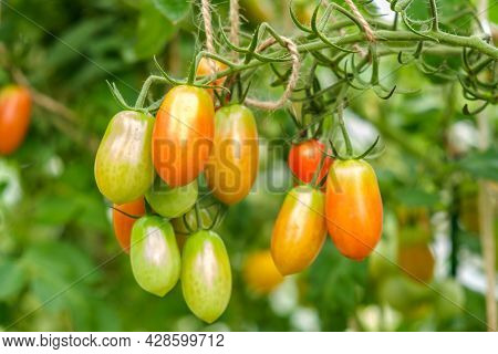 A Bunch Of Small Tomatoes Of Varying Maturity In The Greenhouse Of A Small Vegetable Farm
