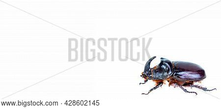 Insect Beetle Oryctes Nasicornis On A White Background.