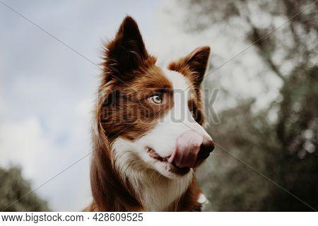 Portrait Border Collie Dog Licking Its Kips On Sky Background