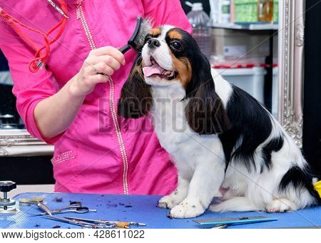 A Lady Combs A Cavalier King Charles Spaniel Standing On A Table.