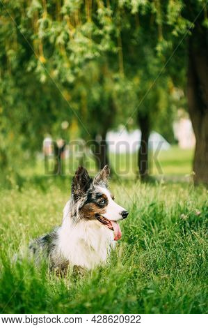 Funny Blue Merle Cardigan Welsh Corgi Dog Sitting In Green Summer Grass Under Tree Branches In Park.