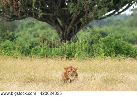 Panoramic Landscape With Lion, Uganda, East Africa