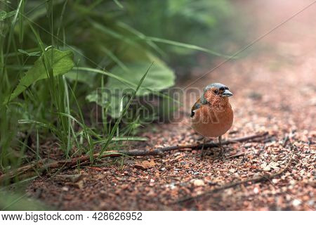 Small Forest Songbird With Red Plumage Sees On The Path In The Forest, Close-up Chaffinch, Bird Watc