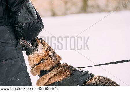 Training Of Purebred German Shepherd Young Dog Or Alsatian Wolf Dog. Attack And Defence. Winter Seas
