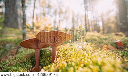 Paxillus Involutus In Autumn Forest In Belarus. Brown Roll-rim, Common Roll-rim, Or Poison Pax, Is A