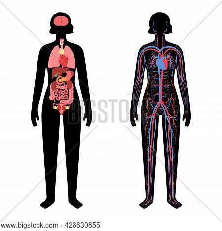 Internal Organs, Arterial And Venous Circulatory System In Human Body. Stomach, Liver, Heart, Kidney
