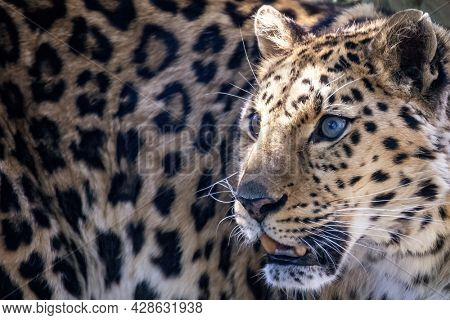 The face of an amur leopard , Panthera pardus orientalis, in sunlight. Critically endangered in the wild and native to the Primorye region of southeastern Russia and northern China