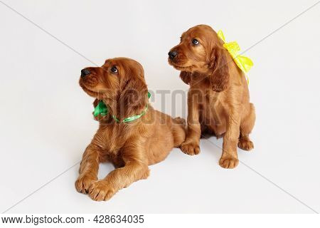 Two Charming Irish Setter Puppy Of Brown Color On A White Background.