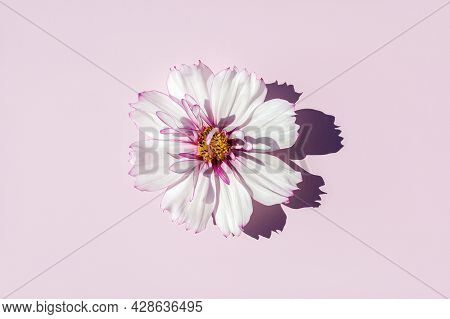 One Delicate Flower Cosmeya On Pink Background, Sunlight