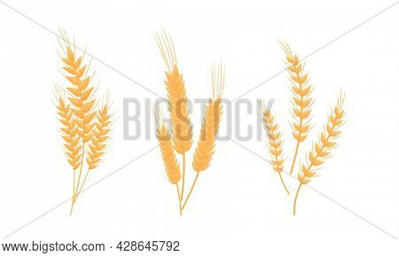 Ear Of Wheat Or Barley As Grain Crop Or Cereal Specie And Cultivated Grass On Stalk With Inflorescen